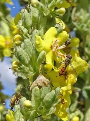 2020-07-11 LüchowSss Garten Kandelaber-Königskerze (Verbascum olympicum) + Hain-Schwebfliege (Episyrphus balteatus)