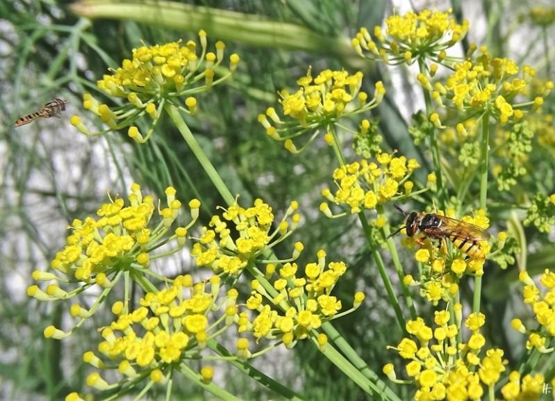 2020-07-11 LüchowSss Garten morgens Fenchel (Foeniculum vulgare) + Grabwespe, evtl. Bienenwolf (Philanthus triangulum) + Hain-Schwebfliege (Episyrphus balteatus)