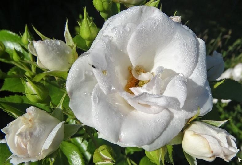 2020-07-11 LüchowSss Garten morgens Rose 'Aspirin'