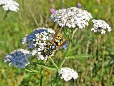 2020-07-11 LüchowSss Garten Schafgarbe (Achillea millefolium) + Deutsche Wespe (Vespula germanica) evtl. Königin