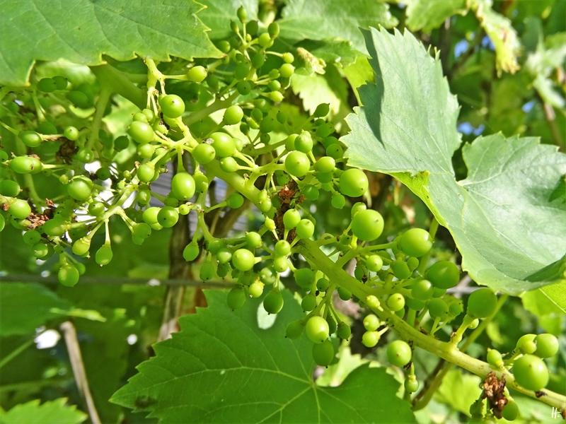 2020-07-11 LüchowSss Garten spanische Weinreben + Fruchtansatz