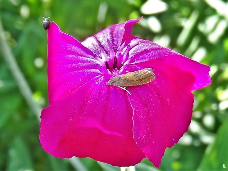 2020-07-11 LüchowSss Garten Vexier- bzw. Kronen-Lichtnelken (Lychnis cornaria) + ein Zünsler ohne dt. Namen(Synaphe punctalis )