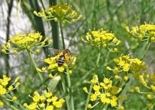 2020-07-12 LüchowSss Garten Fenchel (Foeniculum vulgare) + Wildbiene, vermutl. eine Sandbiene (Andrena spec.)