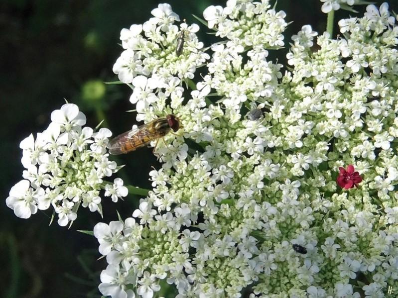 2020-07-12 LüchowSss Garten Wilde Möhre (Daucus carota subsp. carota) + Hain-Schwebfliege + Käfer