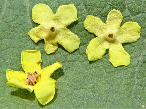 2020-07-14 LüchowSss Garten Kandelaber-Königskerze (Verbascum olympicum) Blütenreste (2)