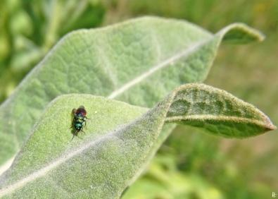 2020-07-14 LüchowSss Garten Kandelaber-Königskerze (Verbascum olympicum) + Goldwespe (Hedychrum rutilans)
