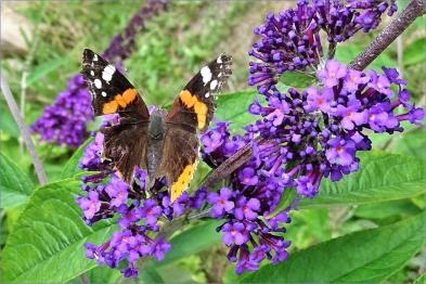 2020-07-17 LüchowSss Garten Admiral (Vanessa atalanta) + Schmetterlingsflieder (Buddleja davidii)