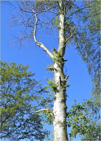 2020-07-17 LüchowSss Garten das Birken-Desaster schreitet voran - mit Stockauschlägen aber dennoch halbtot