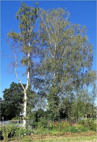 2020-07-17 LüchowSss Garten das Birken-Desaster schreitet voran - mit Stockauschlägen links u. Efeurechts