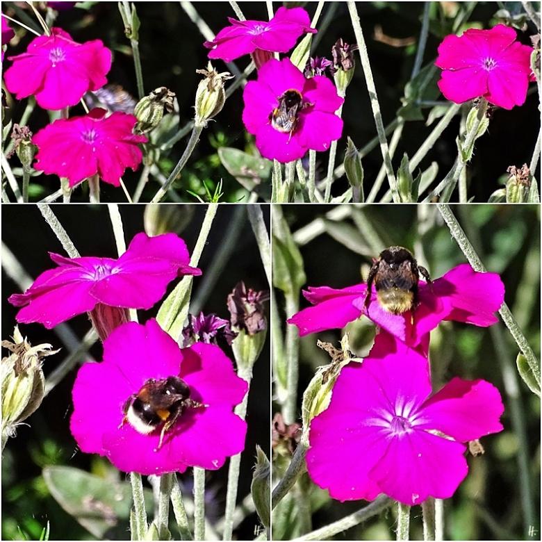 2020-07-17 LüchowSss Garten Dunkle Erdhummel (Bombus terrestris) + Vexier- bzw. Kronen-Lichtnelke (Silene coronaria) (1x3)