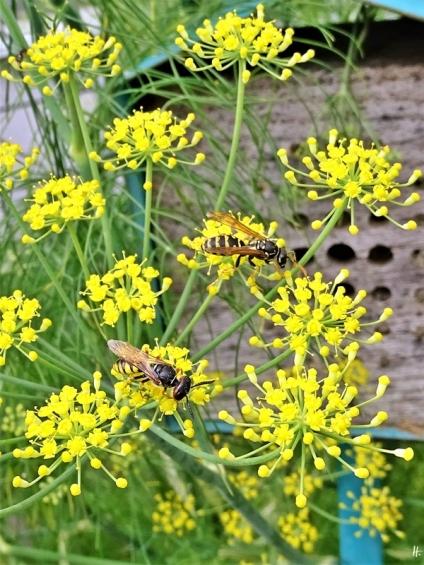 2020-07-17 LüchowSss Garten Fenchel (Foeniculum vulgare) + Haus- bzw. Gallische Feldwespe (Polistes dominula) + Bienenwolf (Philanthus triangulum)