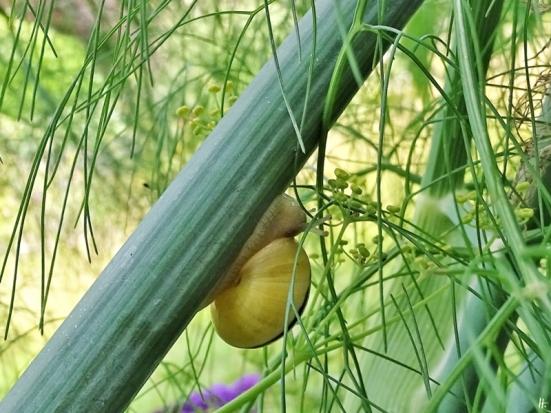 2020-07-17 LüchowSss Garten Fenchel (Foeniculum vulgare) + Garten-Bänderschnecke (Cepaea hortensis)