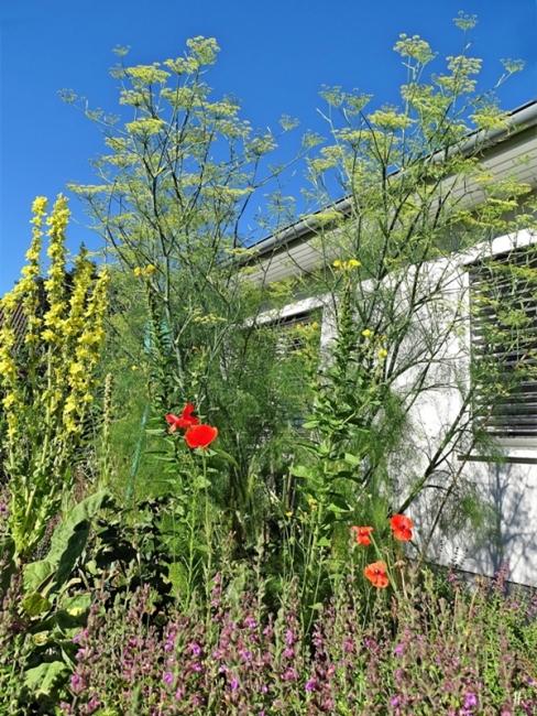 2020-07-17 LüchowSss Garten Fenchel (Foeniculum vulgare) vor dem Haus - zugegebenermassen etwas von unten herauf fotografiert