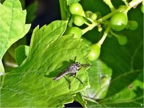 2020-07-17 LüchowSss Garten Gemeiner Strauchdieb (Neoitamus cyanurus) auf Wein (Vitis vinifera)