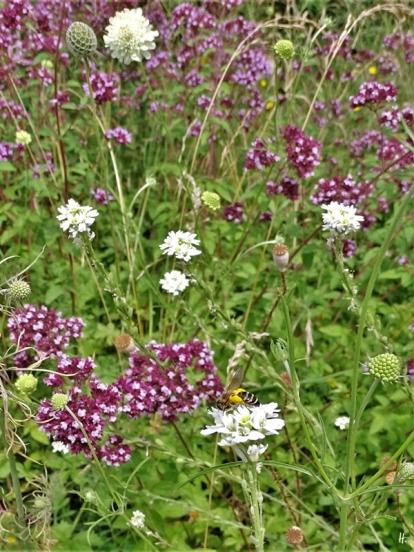 2020-07-17 LüchowSss Garten Gewöhnliche Graukresse (Berteroa incana) mit Wildbiene, vermutl. Sandbiene + Wilder Dost (Origanum vulgare) und Gelb-Skabiosen (Scabiosa ochroleuca)