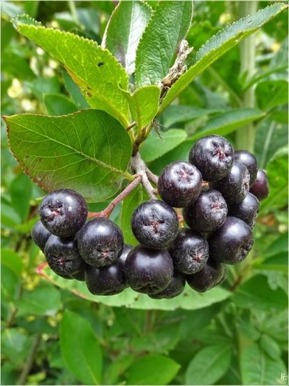 2020-07-17 LüchowSss Garten Kahle bzw. Schwarze Apfelbeere (Aronia melanocarpa)