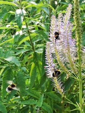 2020-07-17 LüchowSss Garten Kandelaber-Ehrenpreis (Veronicastrum virginicum) 'Lavendeltum' + 2 Dunkle Erdhummeln (Bombus terrestris) (2)