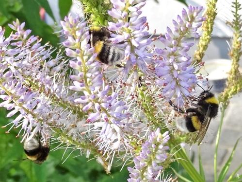 2020-07-17 LüchowSss Garten Kandelaber-Ehrenpreis (Veronicastrum virginicum) 'Lavendeltum' + 2 Dunkle Erdhummeln (Bombus terrestris)