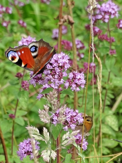 2020-07-17 LüchowSss Garten Tagpfauenauge (Inachis io) + Großes Ochsenauge (Maniola jurtina) (Origanum vulgare) (1)