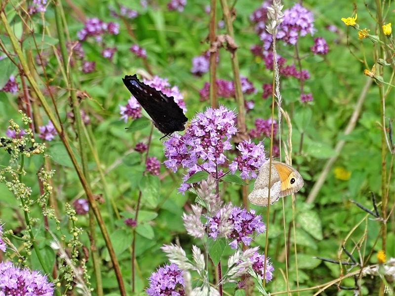 2020-07-17 LüchowSss Garten Tagpfauenauge (Inachis io) + Großes Ochsenauge (Maniola jurtina) an Wildem Dost (Origanum vulgare)