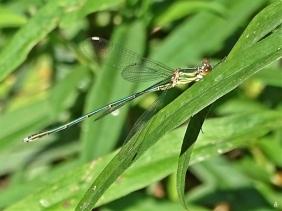 2020-07-17 LüchowSss Garten Weidenjungfer (Chalcolestes viridis), Weibchen