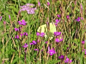 2020-07-18 LüchowSss Garten Zitronenfalter (Gonepteryx rhamni) + Heidenelken (Dianthus deltoides)