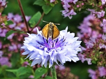 2020-07-19 LüchowSss Garten Braun-Dickkopffalter (Thymelicus spec.) auf Kornblume (Centaurea cyanus) vor Wildem Dost (Origanum vulgare) - leicht geöffnet (1)