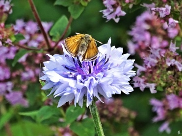 2020-07-19 LüchowSss Garten Braun-Dickkopffalter (Thymelicus spec.) auf Kornblume (Centaurea cyanus) vor Wildem Dost (Origanum vulgare) - leicht geöffnet + Grüne Florfliege (Chrysoperla carnea)