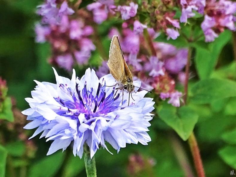 2020-07-19 LüchowSss Garten Braun-Dickkopffalter (Thymelicus spec.) auf Kornblume (Centaurea cyanus) vor Wildem Dost (Origanum vulgare)