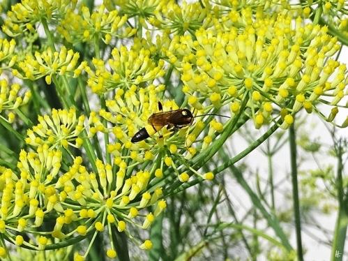 2020-07-19 LüchowSss Garten Fenchel (Foeniculum vulgare) + Gelbe Schlupfwespe (Amblyteles armatorius)