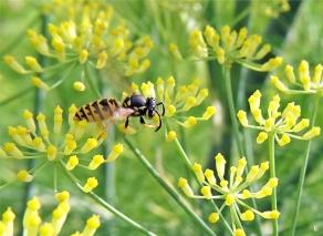 2020-07-19 LüchowSss Garten Fenchel (Foeniculum vulgare) + Gemeine Wespe (Vespula vulgaris) (1)