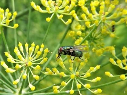 2020-07-19 LüchowSss Garten Fenchel (Foeniculum vulgare) + Goldfliege (Lucilia sericata)