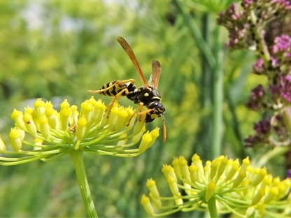 2020-07-19 LüchowSss Garten Fenchel (Foeniculum vulgare) + Haus- bzw. Gallische Feldwespe (Polistes dominula)