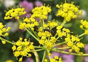 2020-07-19 LüchowSss Garten Fenchel (Foeniculum vulgare) + kl. schwarze Wildbiene (2)