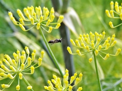 2020-07-19 LüchowSss Garten Fenchel (Foeniculum vulgare) + kl. schwarze Wildbiene