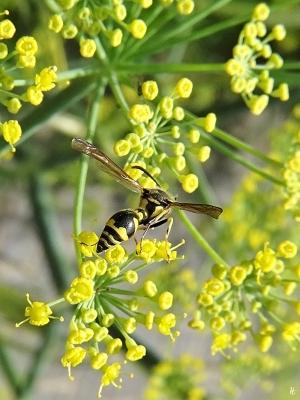 2020-07-19 LüchowSss Garten Fenchel (Foeniculum vulgare) + Mauer-Lehmwespe (Ancistrocerus nigricornis) (1)