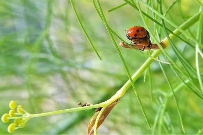 2020-07-19 LüchowSss Garten Fenchel (Foeniculum vulgare) + Variable Flach-Marienkäfer (Hippodamia variegata)