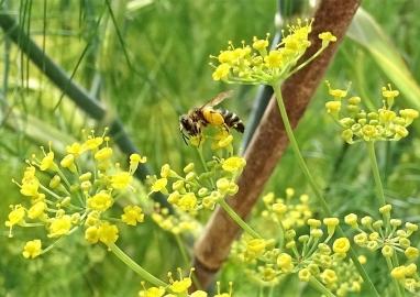 2020-07-19 LüchowSss Garten Fenchel (Foeniculum vulgare) + vermutl. Sandbiene