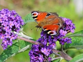 2020-07-19 LüchowSss Garten violetter Schmetterlingsflieder (Buddleja davidii) + Tagpfauenauge (Inachis io)