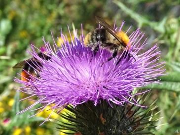 2020-07-21 LüchowSss Garten Ackerhummel (Bombus pascuorum) + männl. Steinhummel (Bombus lapidarius) + Gewöhnliche Kratzdistel (Cirsium vulgare) (1)