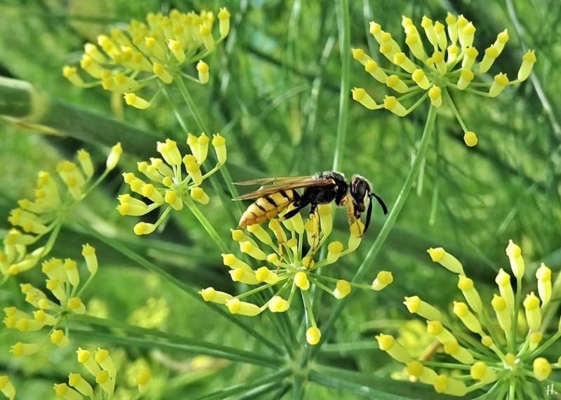 2020-07-21 LüchowSss Garten Fenchel (Foeniculum vulgare) + Bienenwolf (Philanthus triangulum)
