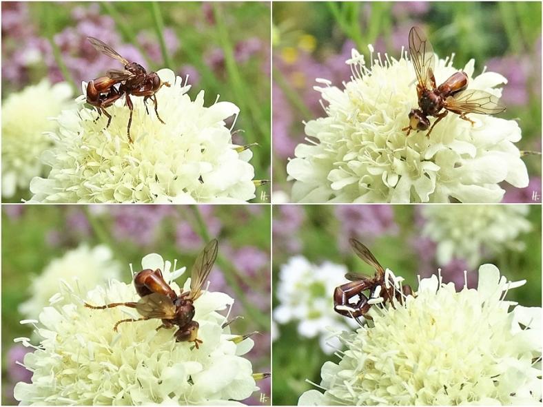 2020-07-21 LüchowSss Garten Gelb-Skabiosen (Scabiosa ochroleuca) + Gemeine Breitstirnblasenkopffliege (Sicus ferrugineus) (1x4)