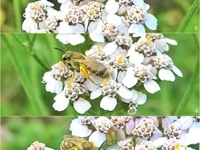 2020-07-21 LüchowSss Garten Gew. Wiesen-Schafgarbe (Achillea millefolium) + Goldfurchenbiene (Halictus (Seladonia) spec.)