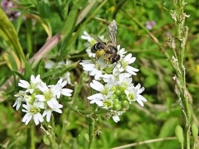 2020-07-21 LüchowSss Garten Gewöhnliche Graukresse (Berteroa incana) + Sandbiene (Andrena spec.))