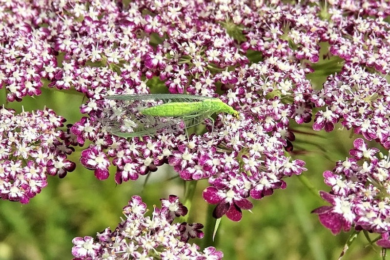 2020-07-21 LüchowSss Garten Grüne Florfliege (Chrysoperla carnea) auf roter Wilder Möhre (Daucus carota subsp. carota) (2)