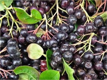 2020-07-21 LüchowSss Garten Kahle bzw. Schwarze Apfelbeere (Aronia melanocarpa) - geerntet mit der Schere (2)