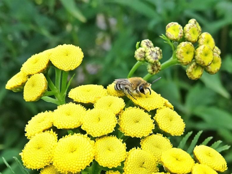 2020-07-21 LüchowSss Garten Rainfarn (Tanacetum vulgare) + Rainfarn-Seidenbiene (Colletes similis)