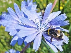 2020-07-21 LüchowSss Garten Wegwarte (Cichorium imtybus) + unbest. Erdhummel (B. terrestris-lucorum-agg.)