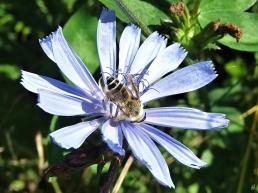 2020-07-21 LüchowSss Garten Wegwarte (Cichorium imtybus) + Gemeine Seidenbiene (Colletes daviesanus), männlich