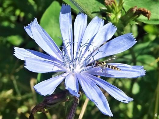 2020-07-21 LüchowSss Garten Wegwarte (Cichorium imtybus) + Gewöhnliche Langbauch- bzw. Stift-Schwebfliege ( Sphaerophoria scripta)